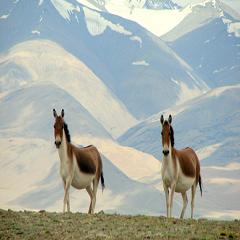 Ladakh Wildlife, Information about Wildlife in Ladakh