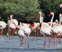 Birds in India, Flamingos in India